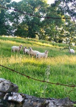 traveling steps basque sheep