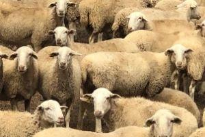 traveling steps sheep